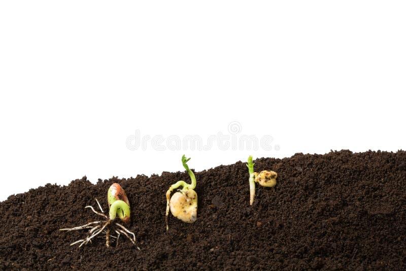 Feijão, fava e germinação das sementes dos grãos-de-bico isolados fotos de stock