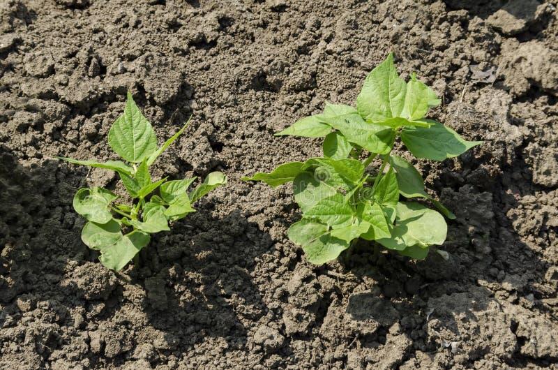 Feijão verde da mola ou crescimento vulgar do Phaseolus no jardim vegetal imagem de stock royalty free
