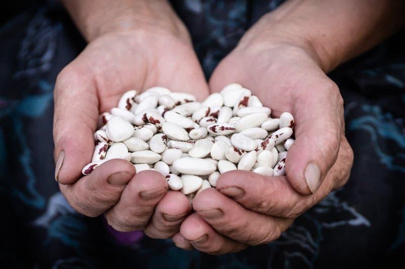 Feijão vermelho Feijões brancos com os pontos vermelhos nas mãos da avó, mãos velhas, nas mãos dos vegetais Feijões imagem de stock