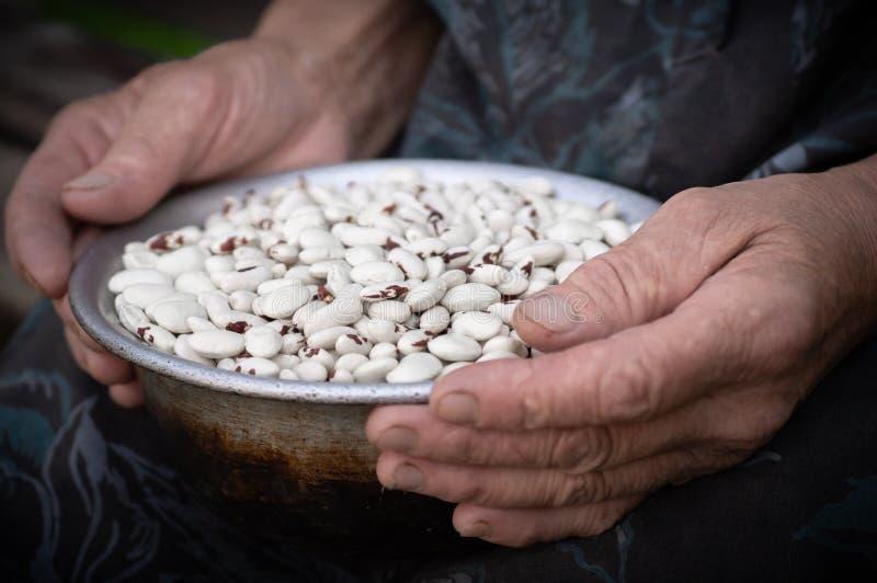 Feijão vermelho Feijões brancos com os pontos vermelhos nas mãos da avó, mãos velhas, nas mãos dos vegetais Feijões imagens de stock