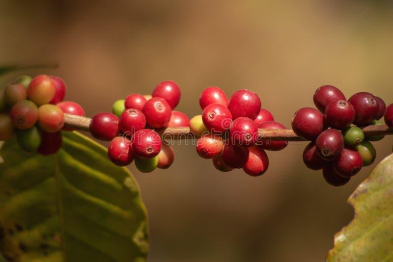 Feijões crus e maduros vermelhos orgânicos frescos da cereja do café na árvore, plantação da agricultura no norte de Tailândia fotos de stock royalty free