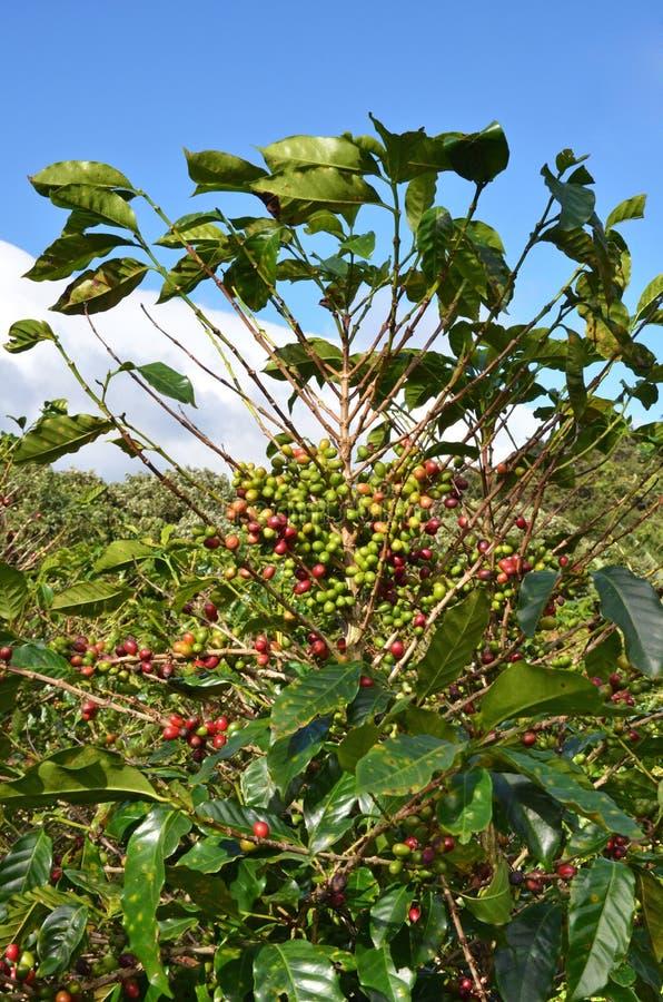 Feijões da árvore de café fotografia de stock royalty free