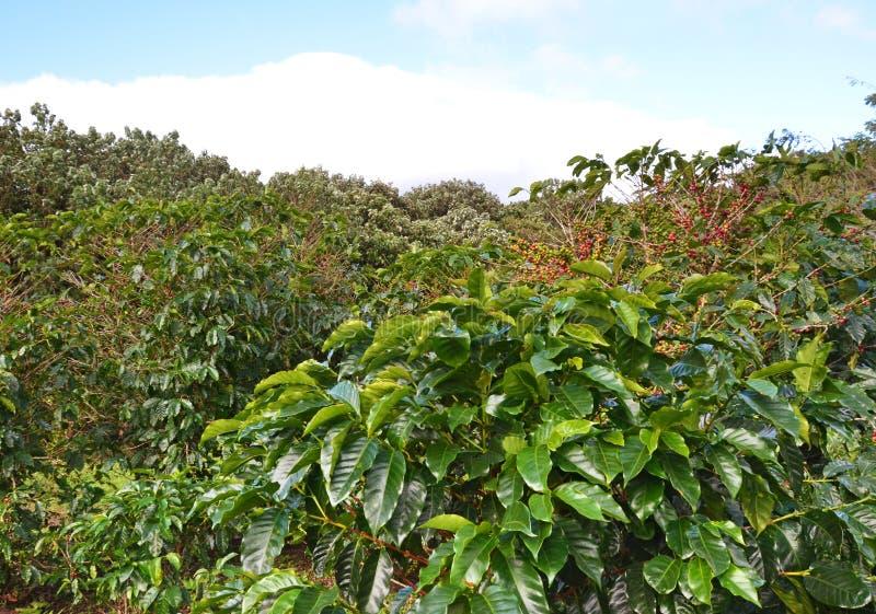 Feijões da árvore de café foto de stock royalty free