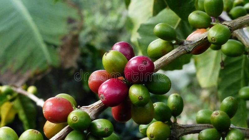 Feijões de café colombianos verdes e maduros foto de stock royalty free