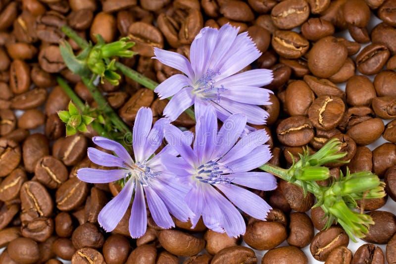 Feijões de café e flores da chicória fotos de stock royalty free