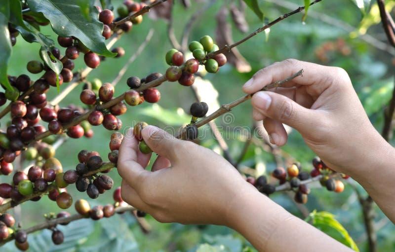 Feijões de café em uma árvore de café imagem de stock royalty free