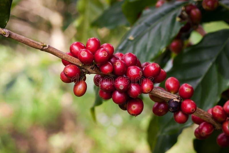 Feijões de café na planta fotografia de stock royalty free