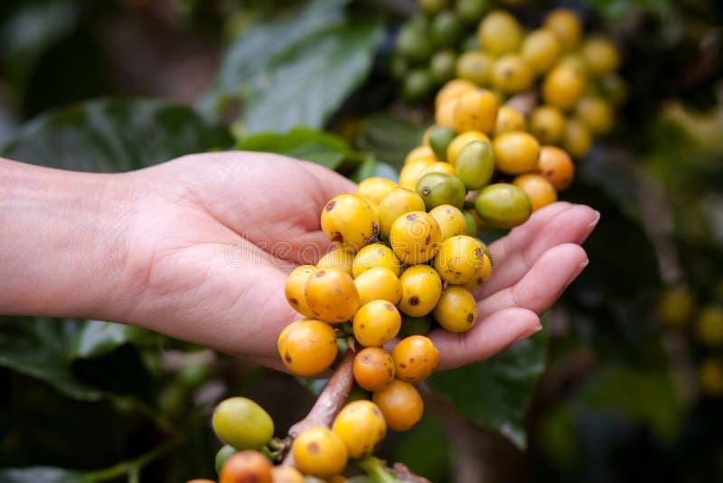 Feijões de café na planta fotos de stock royalty free