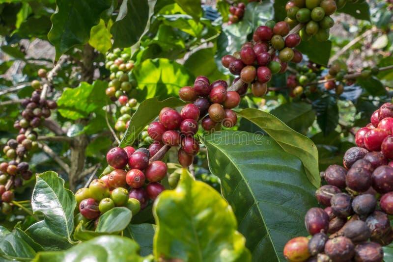 Feijões de café que amadurecem foto de stock royalty free