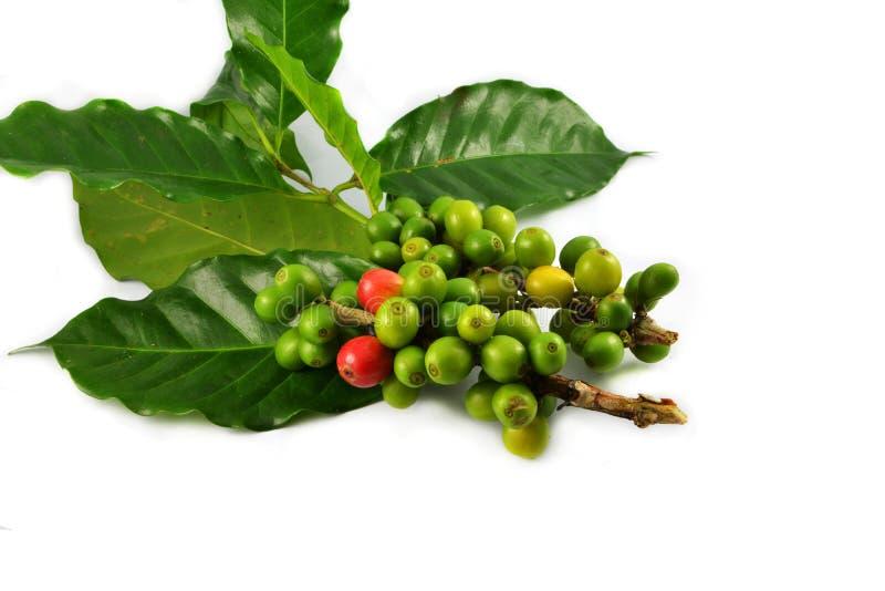 Feijões de café verdes imagem de stock royalty free