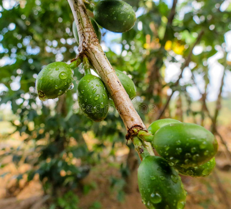 Feijões de café verdes verdes fotografia de stock