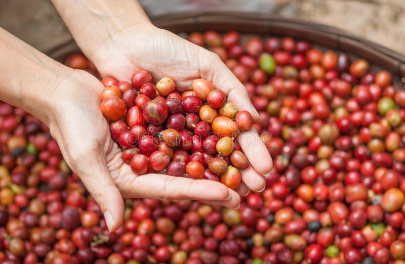 Feijões de café vermelhos das bagas na mão do agricultor foto de stock