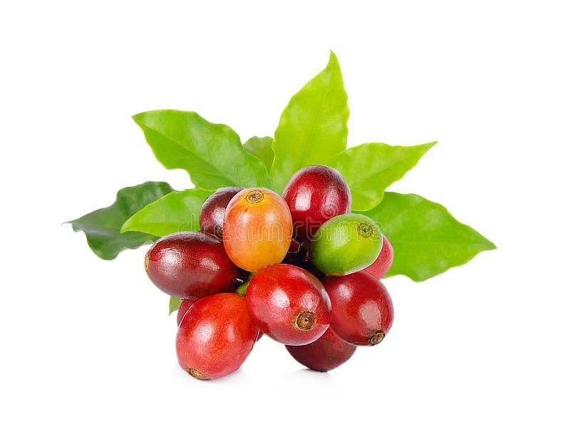Feijões de café vermelhos em um ramo da árvore de café imagens de stock royalty free