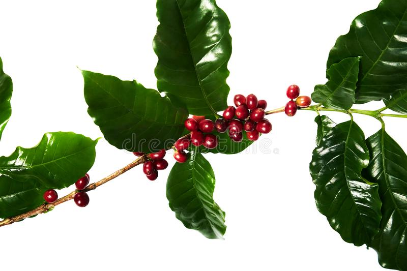 Feijões de café vermelhos em um ramo da árvore de café com os feijões das folhas, os maduros e os verdes de café isolados no fund imagem de stock royalty free