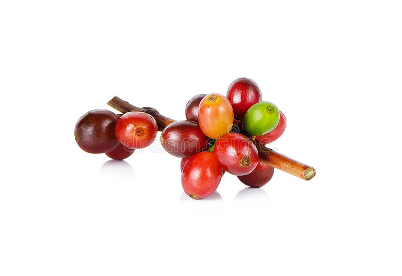 Feijões de café vermelhos em um ramo da árvore de café no fundo branco foto de stock royalty free