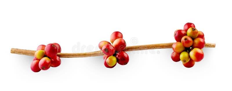 Feijões de café vermelhos em um ramo das bagas da árvore de café, as maduras e as verdes isoladas no fundo branco fotos de stock