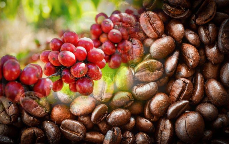 Feijões de café vermelhos na árvore do ramo e no fundo roasted da textura do feijão de café fotografia de stock royalty free