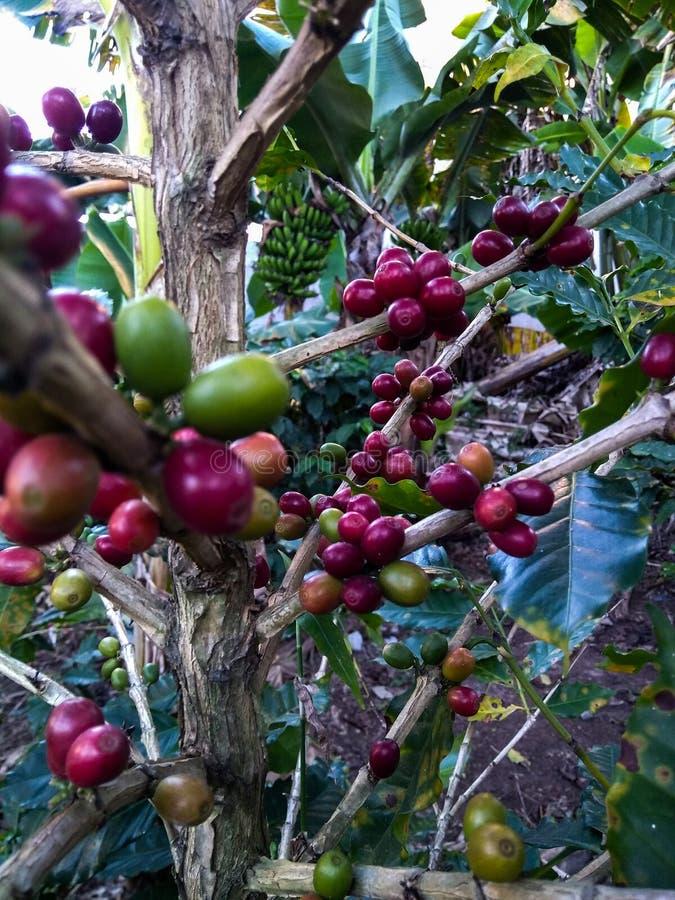 Feijões de café vermelhos na natureza imagem de stock royalty free
