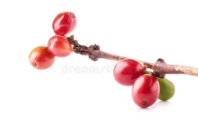 Feijões de café vermelhos no ramo da árvore de café fotos de stock