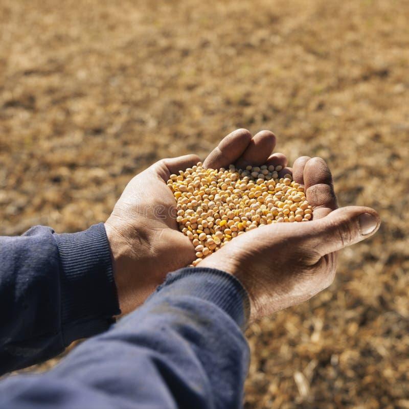Feijões de soja nas mãos. fotografia de stock royalty free
