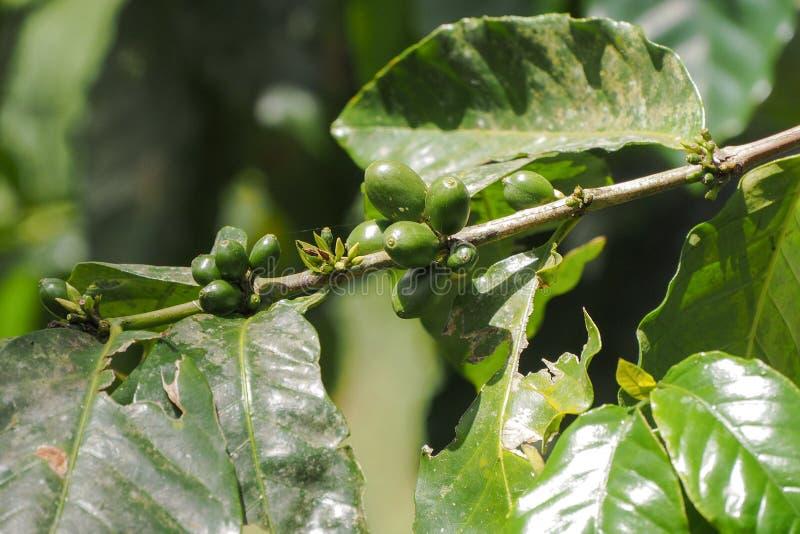 Feijões e folhas verdes de café no ramo imagens de stock