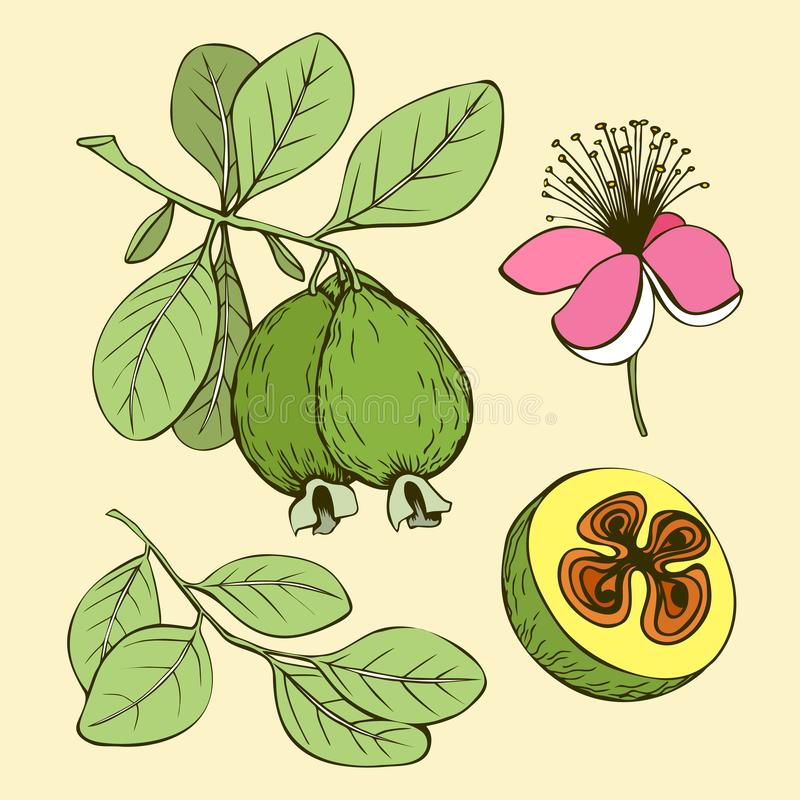 Feijoa pink flower green leaves and fruits stock illustration
