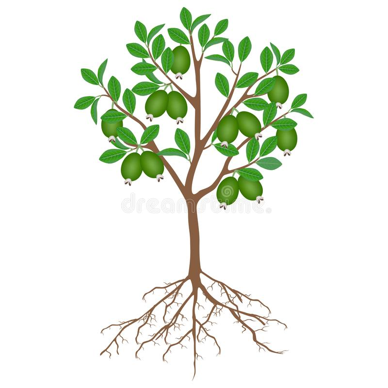 Feijoa tree with fruits and roots on a white background. vector illustration