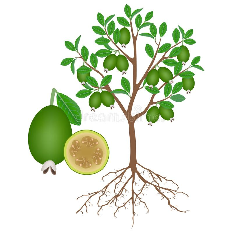 Feijoa tree with roots and fruits on white. stock illustration