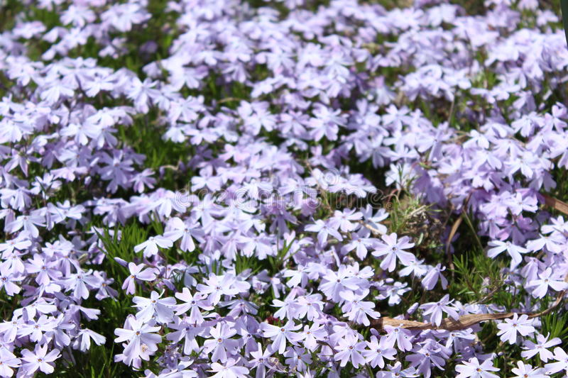 Feild of beautiful bright purple flowers royalty free stock image