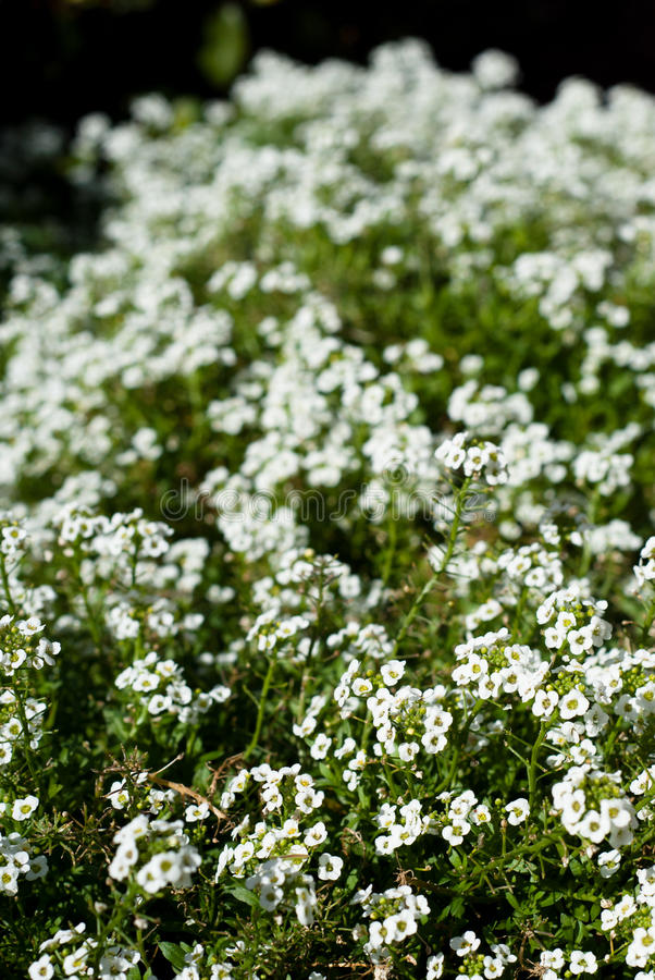 Feild pearly. Field of nice small pearly flowers stock photos