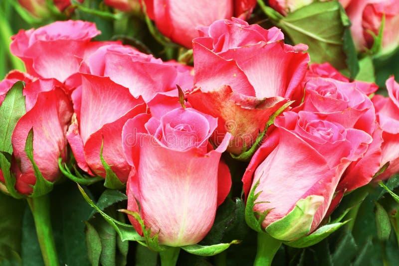 Feine rosa Rosen Hintergrund lizenzfreies stockfoto