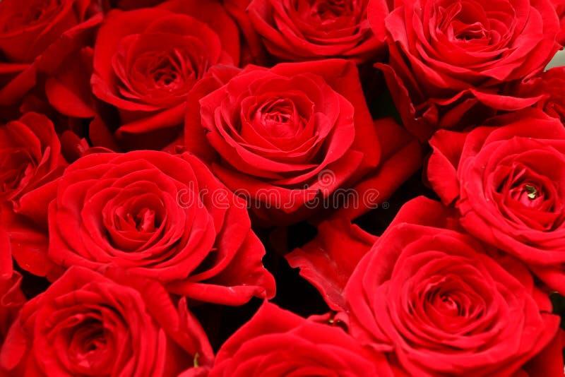 Feine rote Rosen Hintergrund lizenzfreie stockfotos