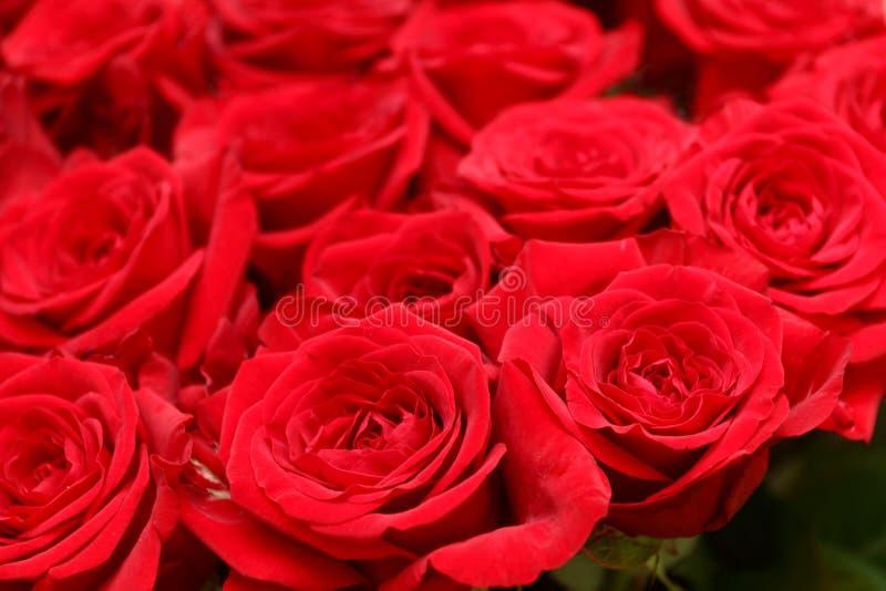 Feine rote Rosen Hintergrund stockbild
