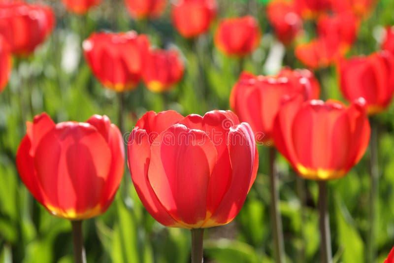 Feine rote Tulpe Hintergrund lizenzfreie stockbilder