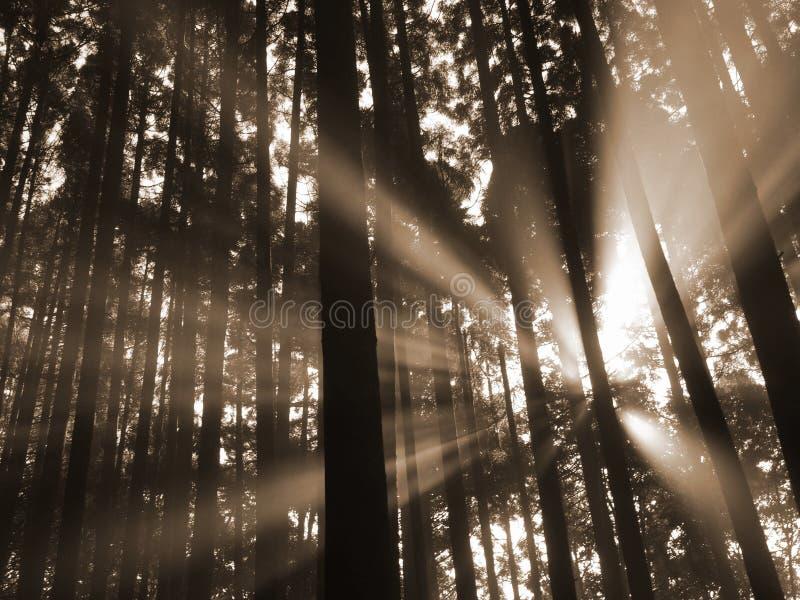 Feixe de Sun na floresta fotos de stock royalty free