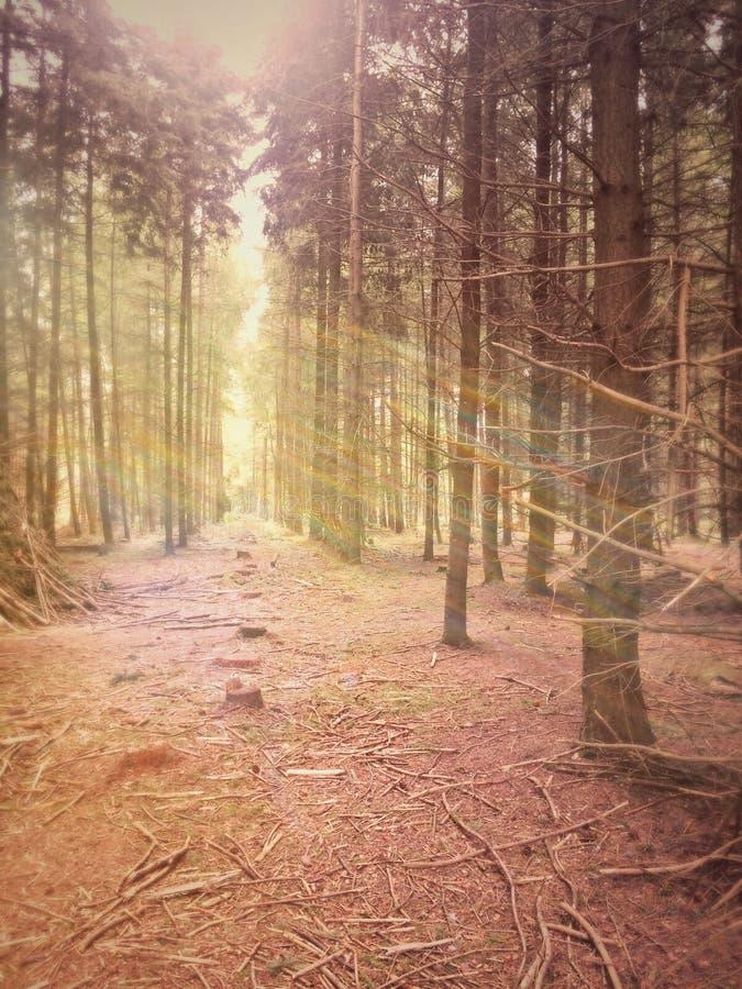 Feixes e árvores de Sun fotografia de stock
