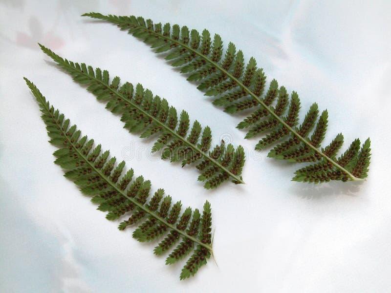 Download Felce immagine stock. Immagine di isolato, piante, flora - 213733