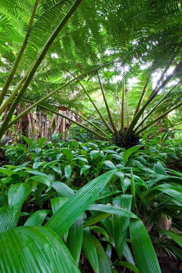 Felce di albero di Hawaiin in foresta pluviale immagine stock