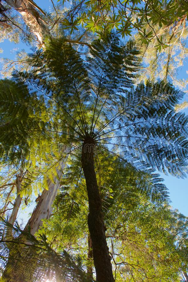 Felce di albero nelle gamme di Dandenong fotografia stock libera da diritti