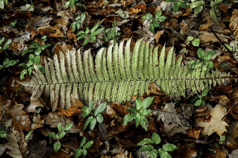 Felce fra le foglie di autunno immagini stock libere da diritti