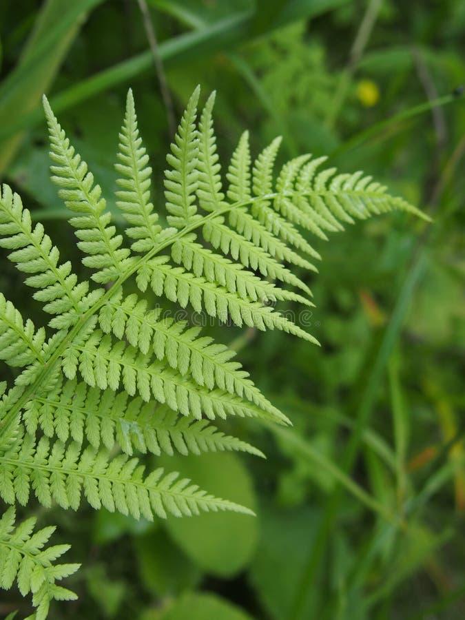 Felce selvaggia verde nel campo fotografia stock