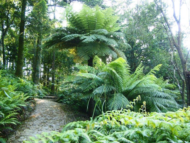 Felci arborescenti ed altre piante tropicali nel giardino botanico di Parque da Pena, Sintra, Portogallo fotografie stock libere da diritti