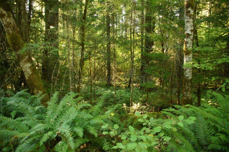 Felci e sottobosco verdi immagine stock immagine di for Piante da sottobosco