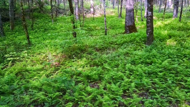 Felci in foresta fotografia stock libera da diritti