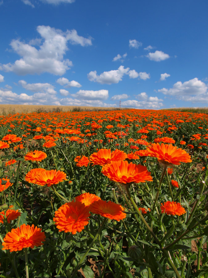 Feld der Blumen lizenzfreie stockbilder