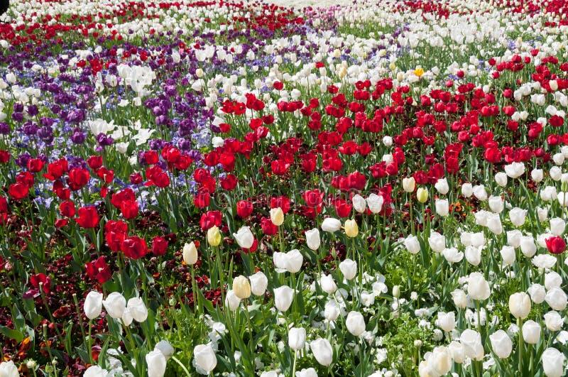 Feld der bunten Tulpen Frühlingsblumen-Naturhintergrund lizenzfreie stockbilder