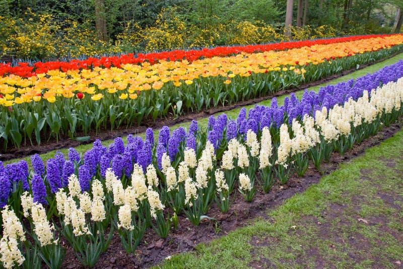 Feld der bunten Tulpen und der Hyazinthen lizenzfreies stockbild