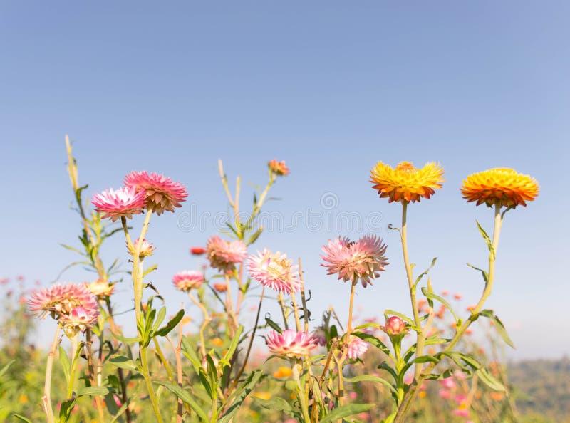 Feld der ewig Blume lizenzfreie stockbilder