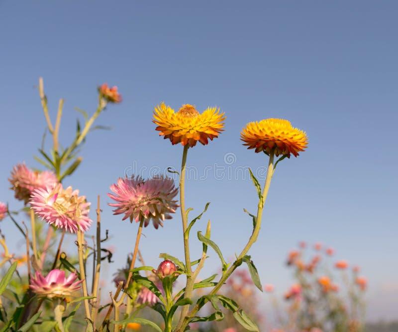 Feld der ewig Blume lizenzfreies stockbild
