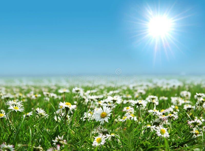 Feld der Gänseblümchen mit Sonne auf dem Himmel stockfoto